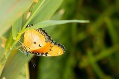 Butterfly on green grass. Orange butterfly on green grass macro shot stock image
