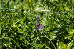 Butterfly among the green grass in the sun. Butterfly `Lycaena epixanthe` among the green grass in the sun royalty free stock image
