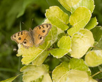 Butterfly on green leaf Royalty Free Stock Photos