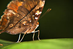 Butterfly on green leaf. Shot this in the Butterfly Park in Kuala Lumpur Stock Images