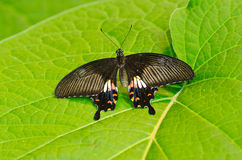 Butterfly on Green Leaf. Black butterfly resting on a green leaf Stock Images