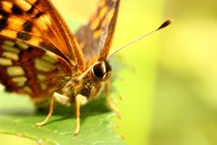 The Butterfly on Green Leaf - macro royalty free stock photography
