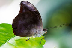 Butterfly on green leaf Royalty Free Stock Images