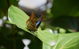 Butterfly on a green leaf, nymphalidae, blue spotted butterfly. Blue spotted butterfly on a green leaf royalty free stock photo