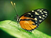 Butterfly on green leaf. Orange and black butterfly resting on green leaf Royalty Free Stock Photos