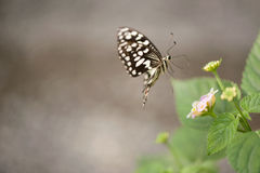 Butterfly on green leaf Royalty Free Stock Photography