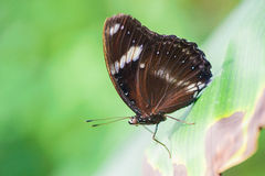 Butterfly on green leaf Stock Photography