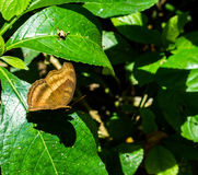 Butterfly green leaf. Butterfly sitting on a green leaf in forrest Royalty Free Stock Photos