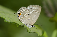 Butterfly On Green Leaf (Small Lycaenid) Royalty Free Stock Photo