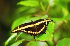 Butterfly on green leaf Royalty Free Stock Photo