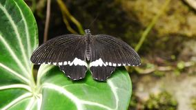 Butterfly on a green leaf. Tropical butterfly on a flower stock video footage
