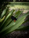 Butterfly on green, leafy plant, Homestead, Florida royalty free stock images