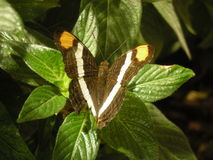 Butterfly on green leaves. Taken at an exhibit in Washington, D.C Royalty Free Stock Image