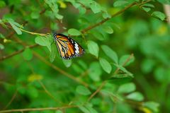 Butterfly cling to leaves in the field Stock Photo