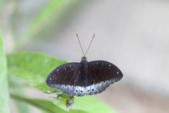 Butterfly on green leaves. Royalty Free Stock Photo