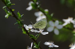 Butterfly. Green butterfly on small white flower Royalty Free Stock Photography