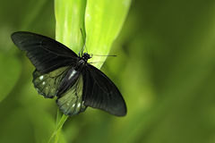 Butterfly in green vegetation. Female Papilio pilumnus, butterfly in the nature green forest habitat, South of USA, Arizona. Butte Stock Photography