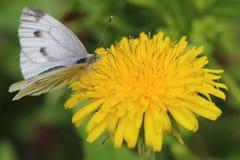 Butterfly - green-veined white on dandelion flower. Butterfly - green-veined white (Pieris napi) on dandelion flower. Macro Stock Photo