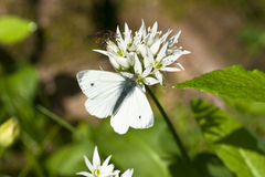 Butterfly, Green veined White, (Pieris napi) Royalty Free Stock Photography