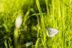 Butterfly (Green-veined white, Pieris napi) on grass. Stock Photo