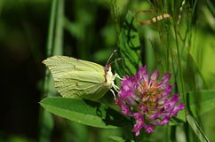 Butterfly. Green butterfly on violet flower Stock Photos