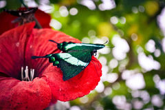 Butterfly with green wings sitting on a red flower. Close-up, filter royalty free stock photos