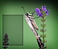 Butterfly Greeting Card. Swallowtail Butterfly Greeting Card with Text Box Royalty Free Stock Photography