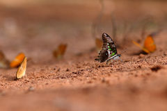 Butterfly on ground Stock Image