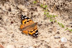 Butterfly on the ground absorbing minerals from the soil