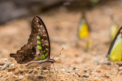 Butterfly on the ground. Beautiful Butterfly on the ground Royalty Free Stock Photo