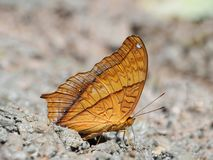 Butterfly on the ground Blurred view of natural background. Beautiful color Butterfly on the ground Blurred view of natural background stock image