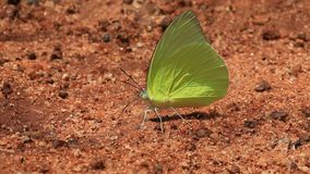 Butterfly on the ground, brown background stock video footage