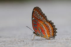 Butterfly on the ground, Cethosia biblis Royalty Free Stock Photo