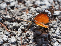 Butterfly On Ground Royalty Free Stock Image