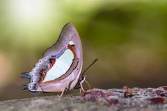 Butterfly on ground. Common NawabPolyura athamas, beautiful butterfly was eating food in nature Stock Photos