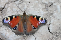 Butterfly on the ground Royalty Free Stock Photos