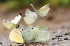 Butterfly on the ground, drink water Royalty Free Stock Photography