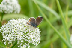 Butterfly on ground elder, herb gerard. Macro. Shallow DOF. Blurry Background. Stock Images
