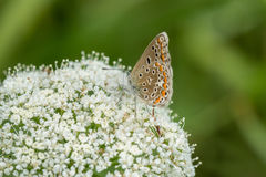 Butterfly on ground elder, herb gerard. Macro. Shallow DOF. Blurry Background. Royalty Free Stock Images