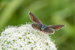 Butterfly on ground elder, herb gerard. Macro. Shallow DOF. Blurry Background. Stock Photography