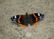 Butterfly on ground royalty free stock photo
