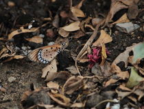 Butterfly on ground. And hide in dry leaf Royalty Free Stock Image