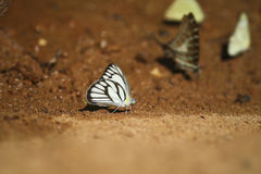 A butterfly on ground Royalty Free Stock Image