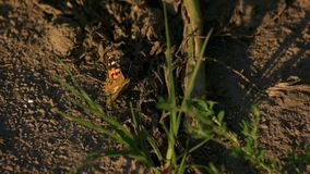Butterfly on the ground. Orange butterfly motion, top view stock video footage