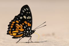 Butterfly on ground, Sephisa princeps Stock Images