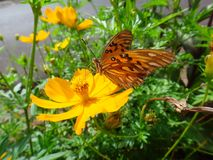 Butterfly gulf fritillary sucking nectar in the flower of cosmos Stock Photo