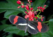 Butterfly - Héliconius Erato Démophoon. Beautiful butterfly on a plant at a conservatory Stock Photos