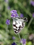 Butterfly half-mourning gathering a lavender. Stock Photo