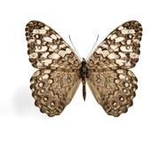 Butterfly Hamadryas februa (Gray Cracker) Royalty Free Stock Photos