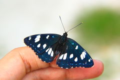 Butterfly on hand. A blue butterfly resting on the finger of a hand Royalty Free Stock Photos